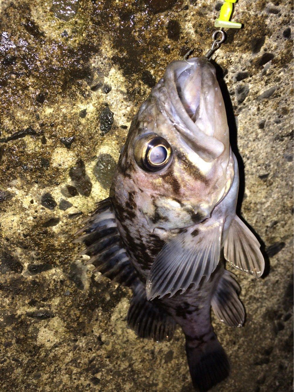 ポニーさんの投稿画像,写っている魚はソイ