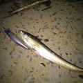 うめやまさんの佐賀県三養基郡での釣果写真