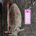 サイトウタクヤさんの京都府舞鶴市でのコウイカの釣果写真