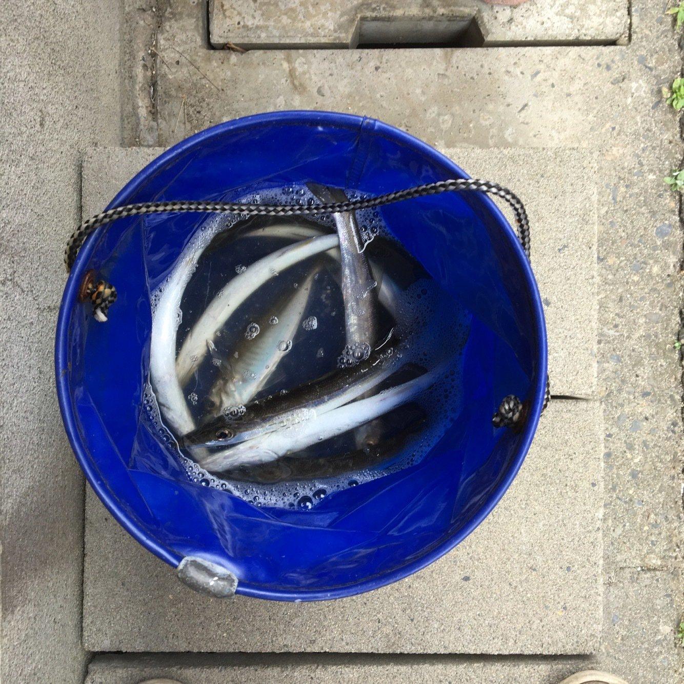 aoricyuさんの投稿画像,写っている魚はカマス