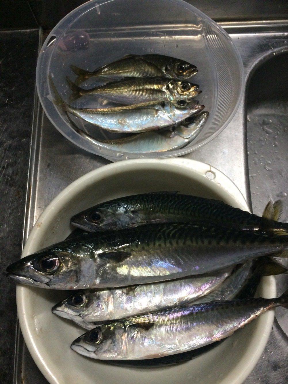 クラゲさんの投稿画像,写っている魚はマサバ