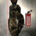 noriさんの三重県四日市市でのタケノコメバルの釣果写真