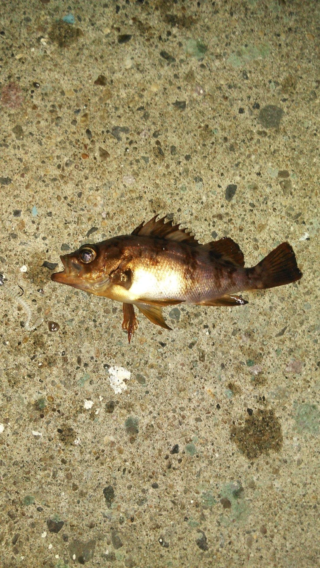 TOMOさんの投稿画像,写っている魚はメバル