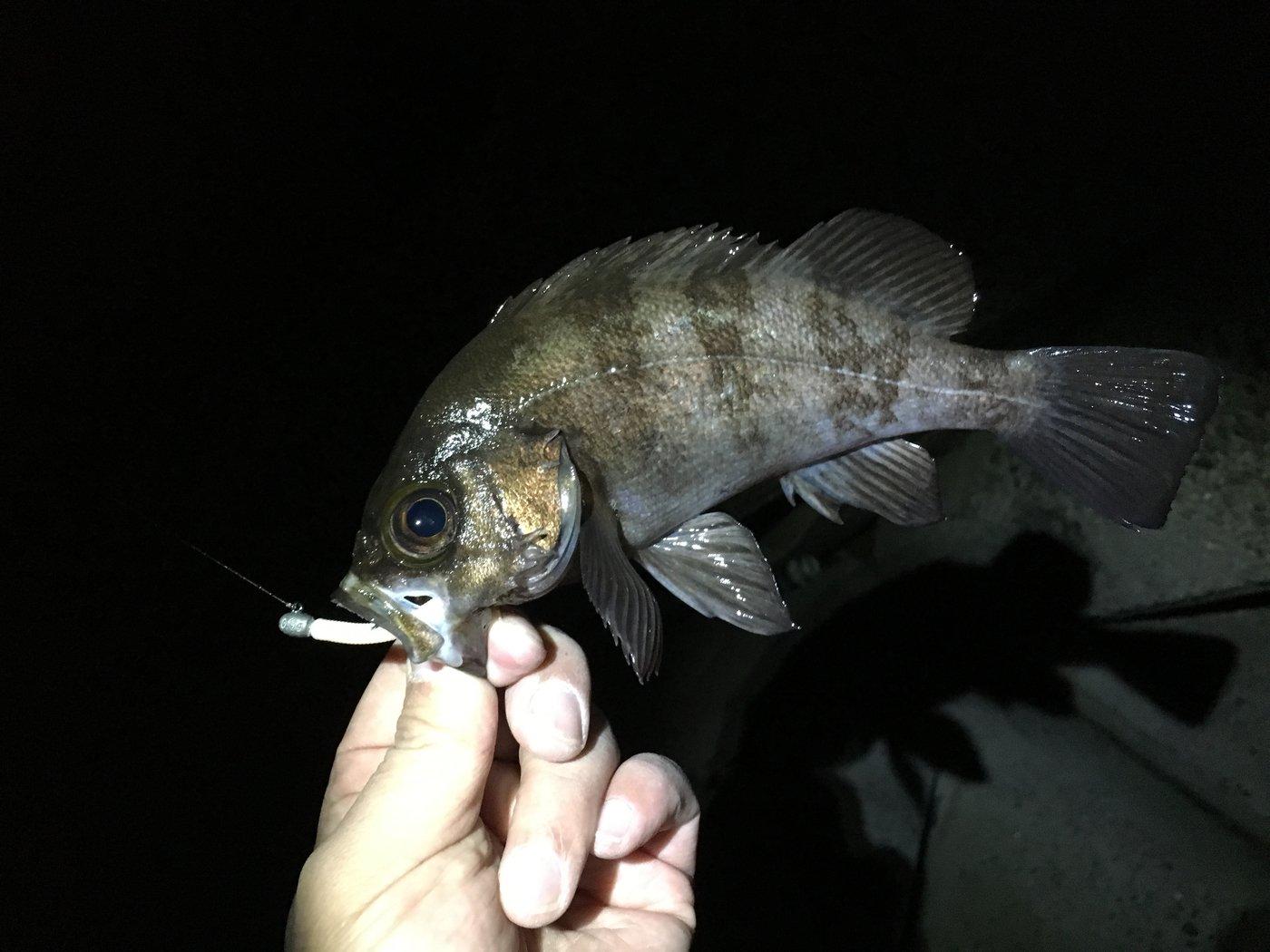 らんちゅうビートルさんの投稿画像,写っている魚はメバル