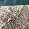 Koudai Katoさんの京都府舞鶴市でのコウイカの釣果写真