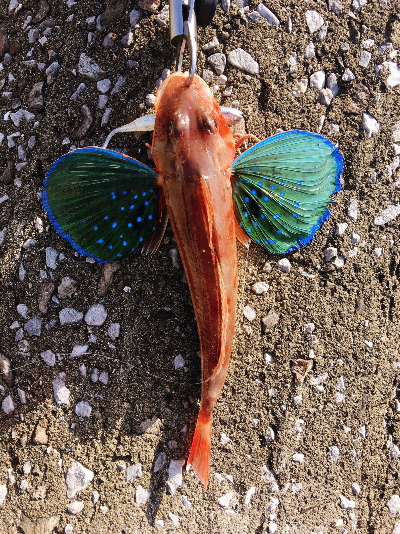 まいありーさんの投稿画像,写っている魚はホウボウ