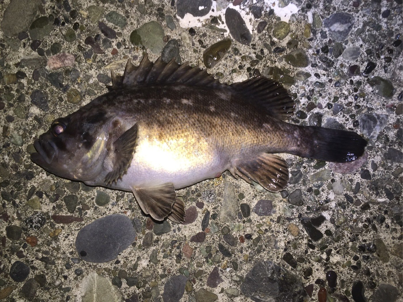 爆笑釣り部さんの投稿画像,写っている魚はクロソイ