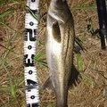 たんこぶさんの山梨県北都留郡での釣果写真