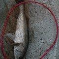 へたれ。さんの福岡県飯塚市での釣果写真