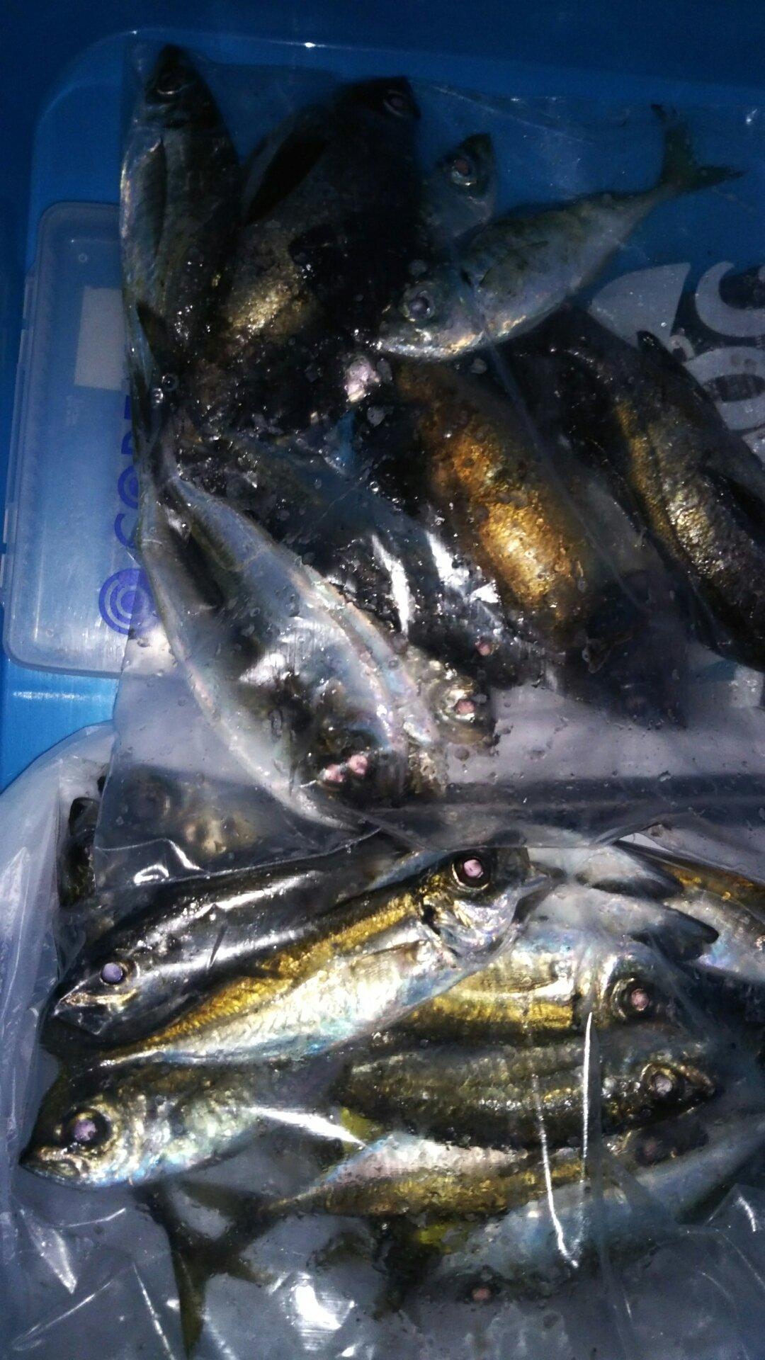 ナンチャンさんの投稿画像,写っている魚はメバル,アジ