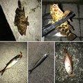 mstcさんの静岡県沼津市でのムツの釣果写真