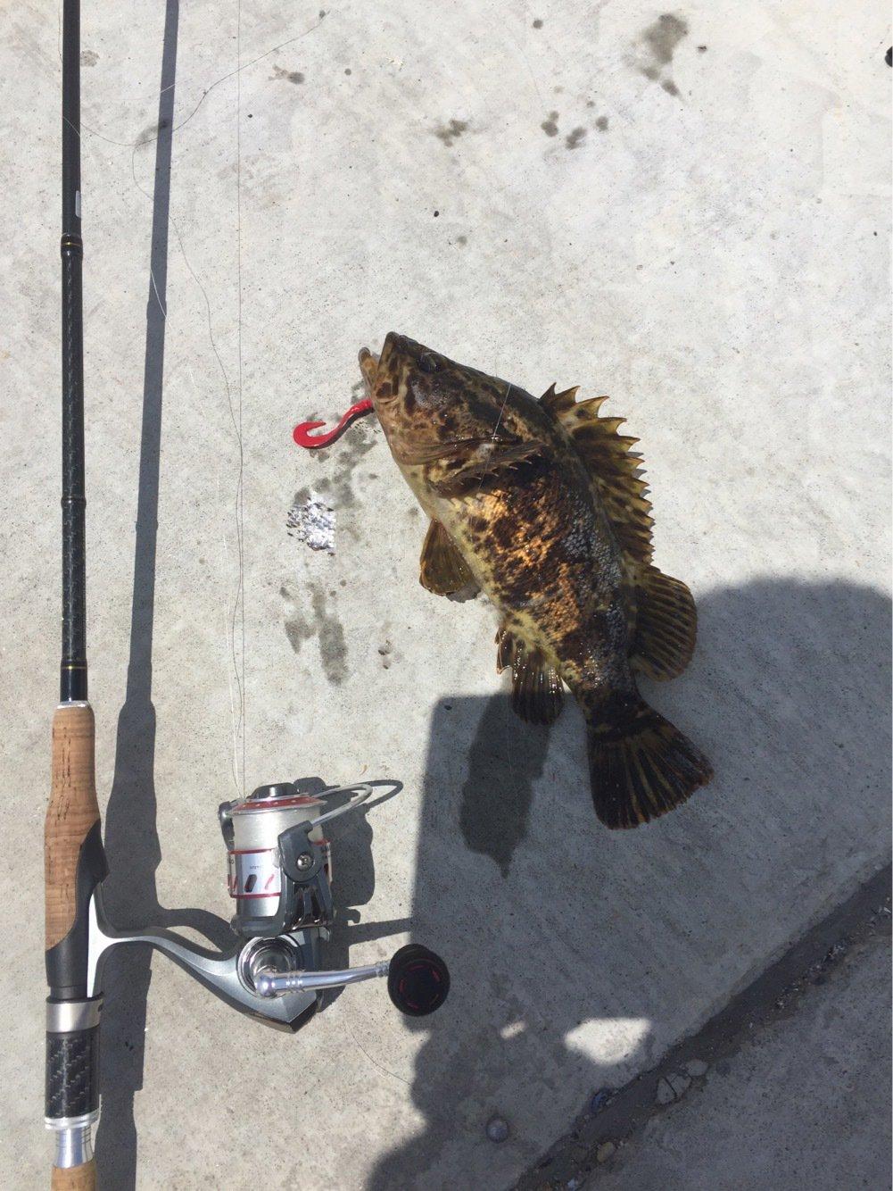 ハラキリフジヤマさんの投稿画像,写っている魚はタケノコメバル
