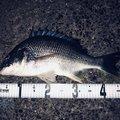ゆうまるさんの千葉県市原市でのクロダイの釣果写真