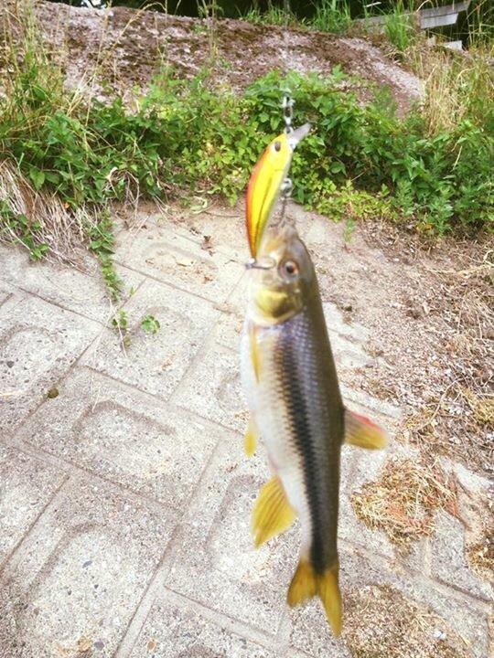 ケイタタさんの投稿画像,写っている魚はカワムツ