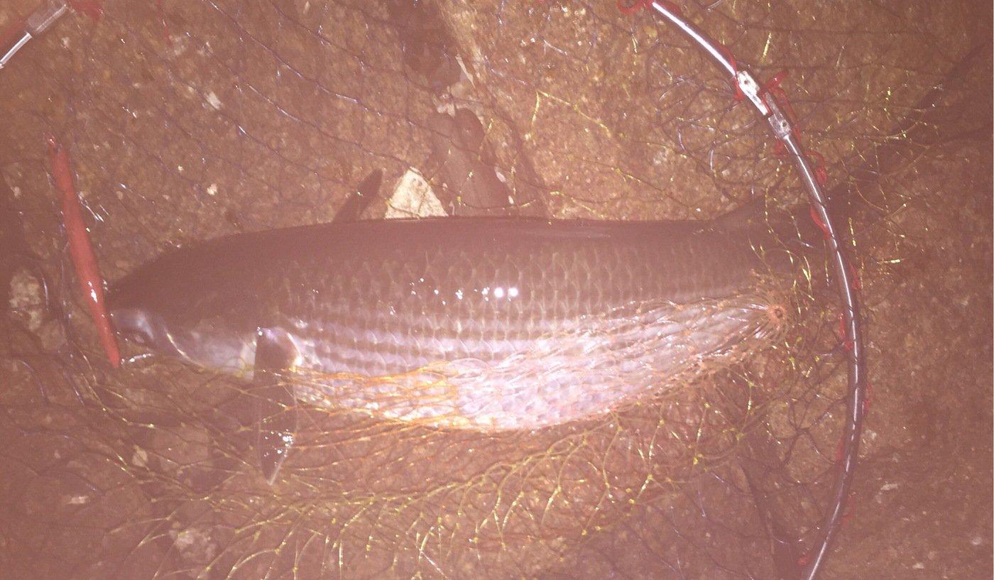 ケイタタさんの投稿画像,写っている魚はボラ