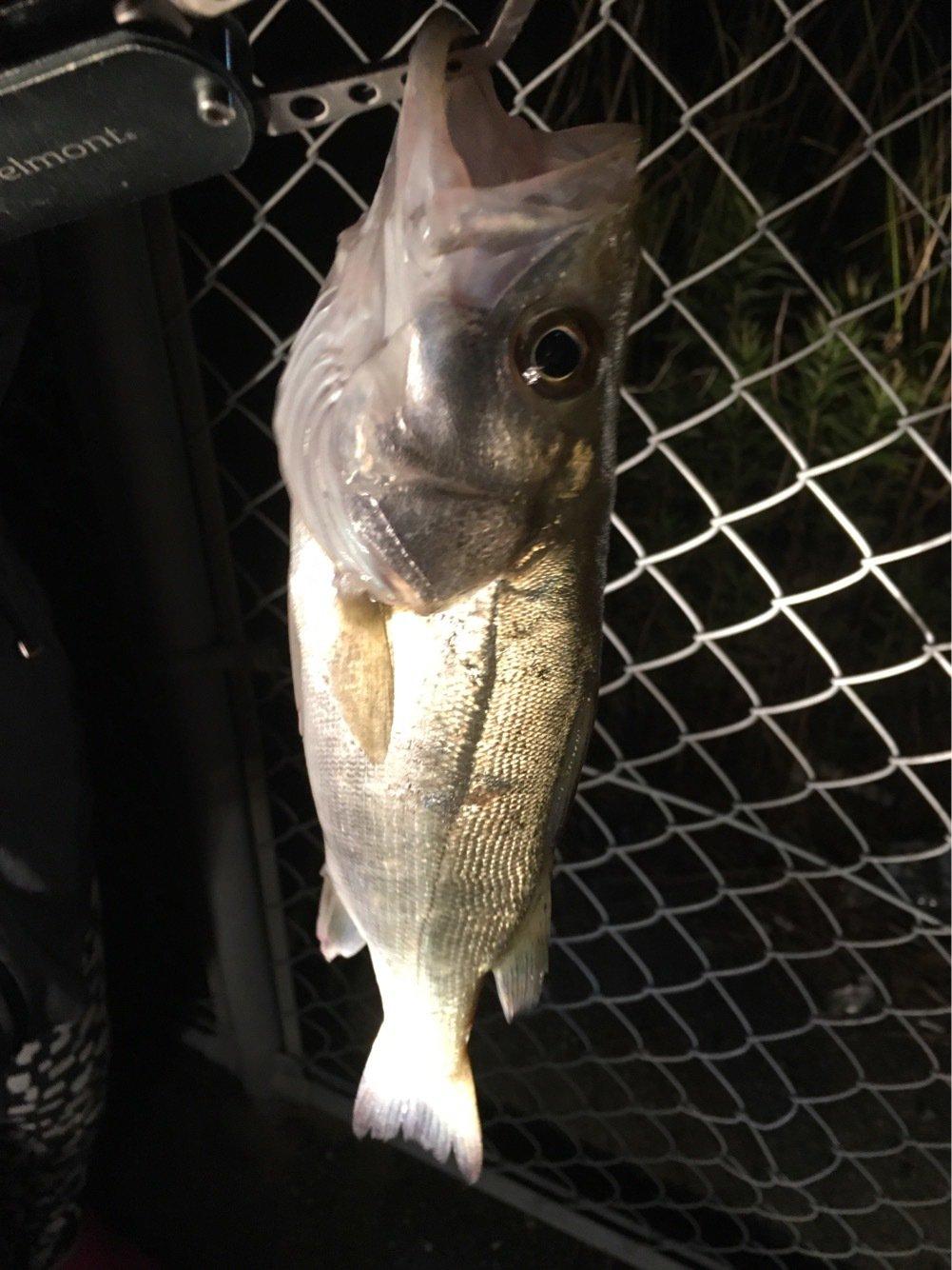 Kyokoさんの投稿画像,写っている魚はスズキ
