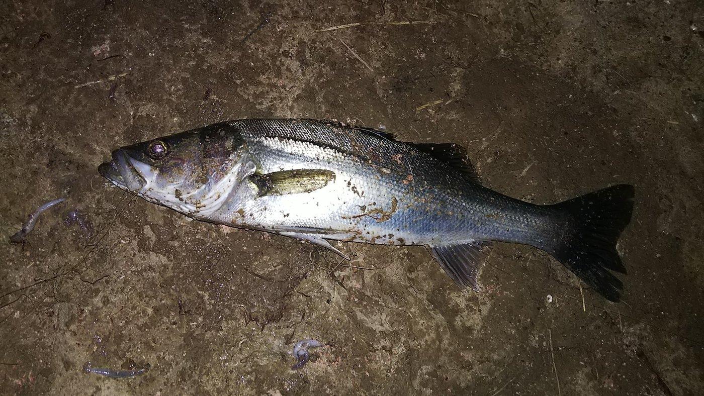 ケツがブリトニーさんの投稿画像,写っている魚はスズキ