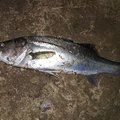 ケツがブリトニーさんの熊本県上天草市でのスズキの釣果写真