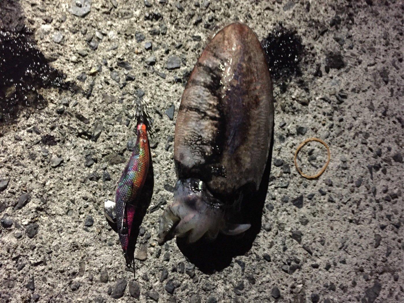 ペロさんの投稿画像,写っている魚はコウイカ