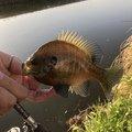 マサマサ🐡さんの佐賀県神埼市での釣果写真