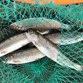 こばさんの滋賀県犬上郡での釣果写真