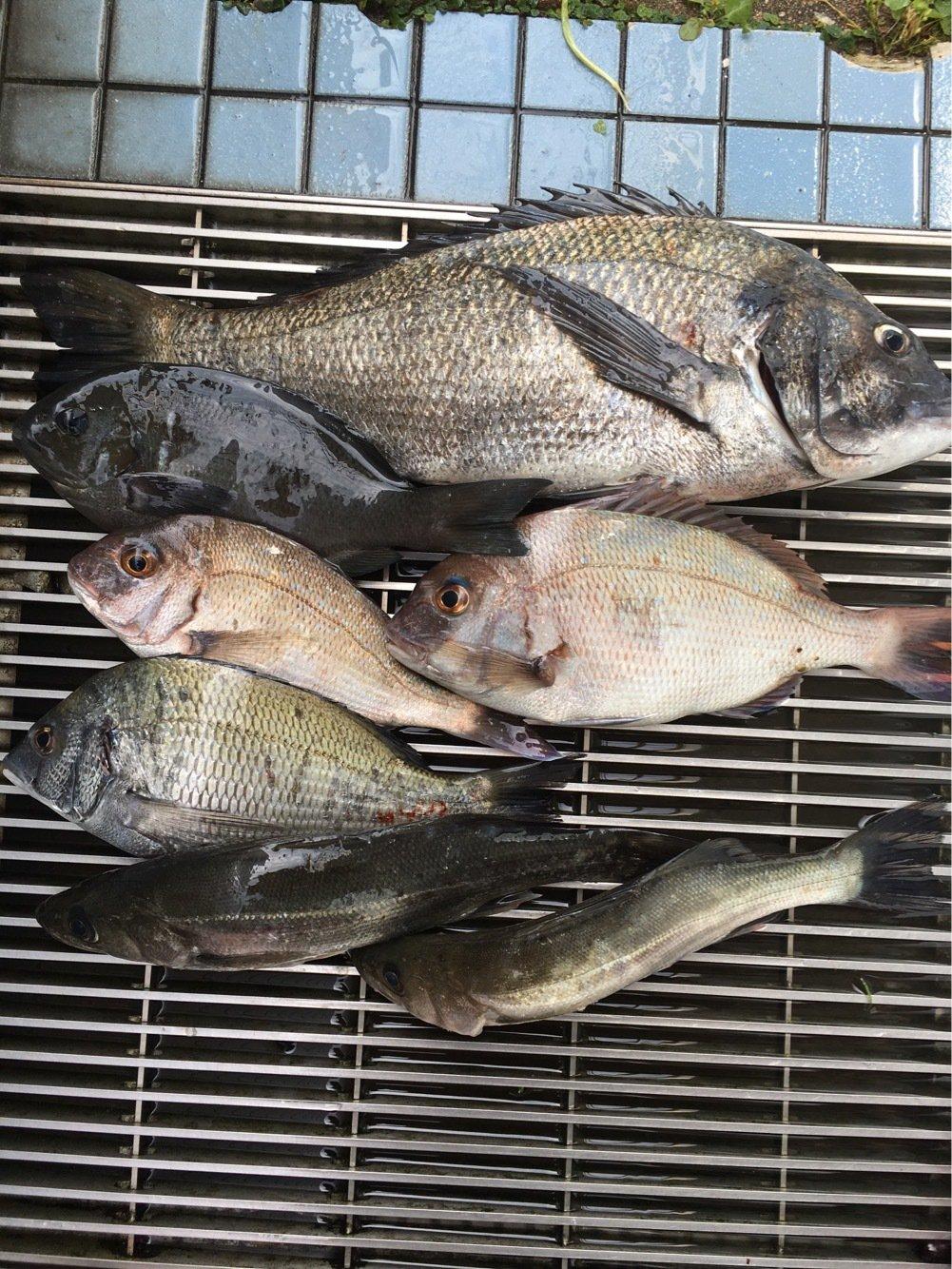 Kyokoさんの投稿画像,写っている魚はクロダイ