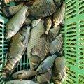 もりさんの千葉県柏市での釣果写真