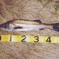 おのちゃんさんの千葉県白井市での釣果写真