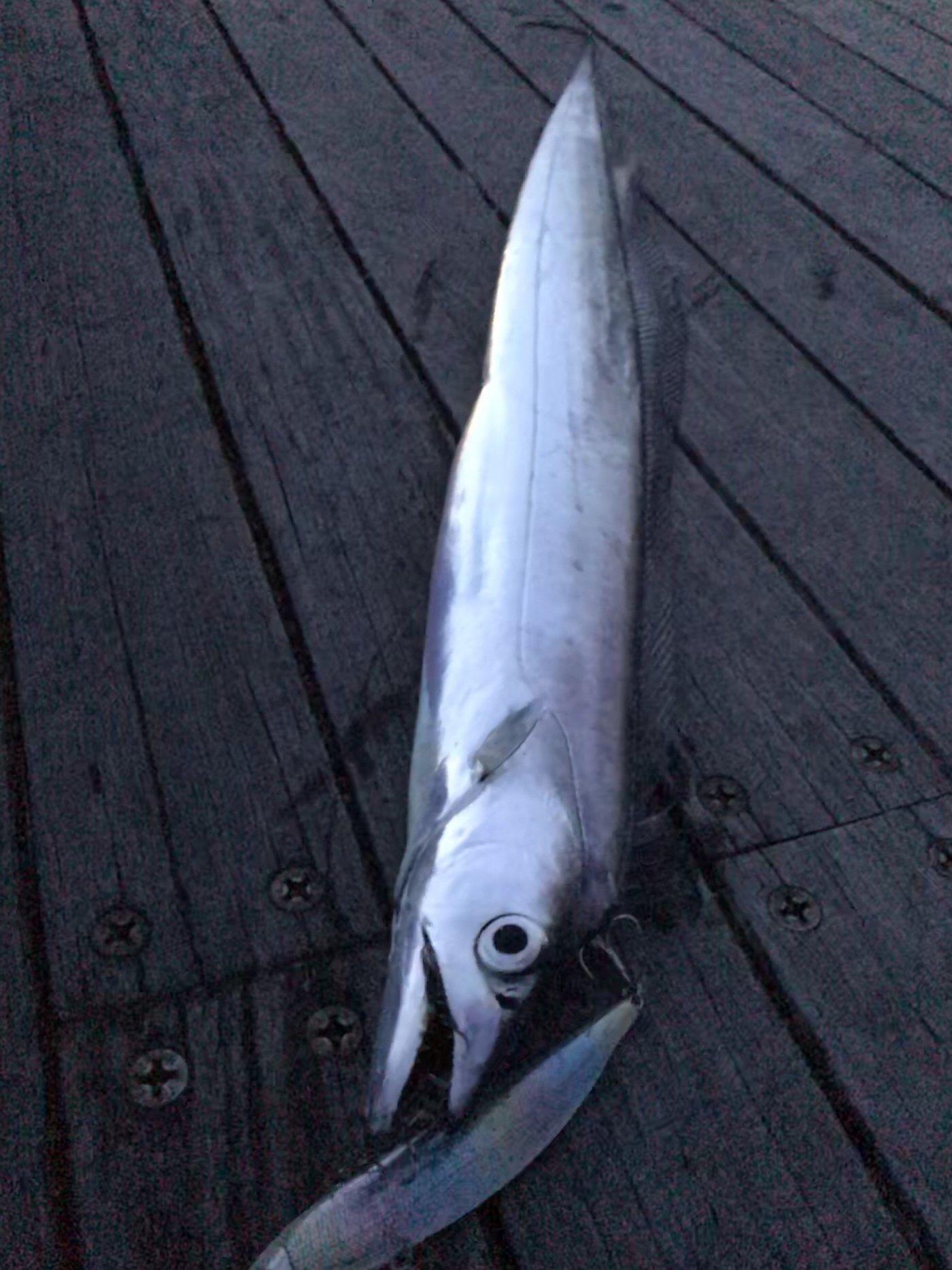 すずさんの投稿画像,写っている魚はタチウオ