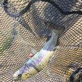 かずさんの千葉県富里市での釣果写真