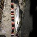 M.FUKAZUMEさんの茨城県小美玉市での釣果写真