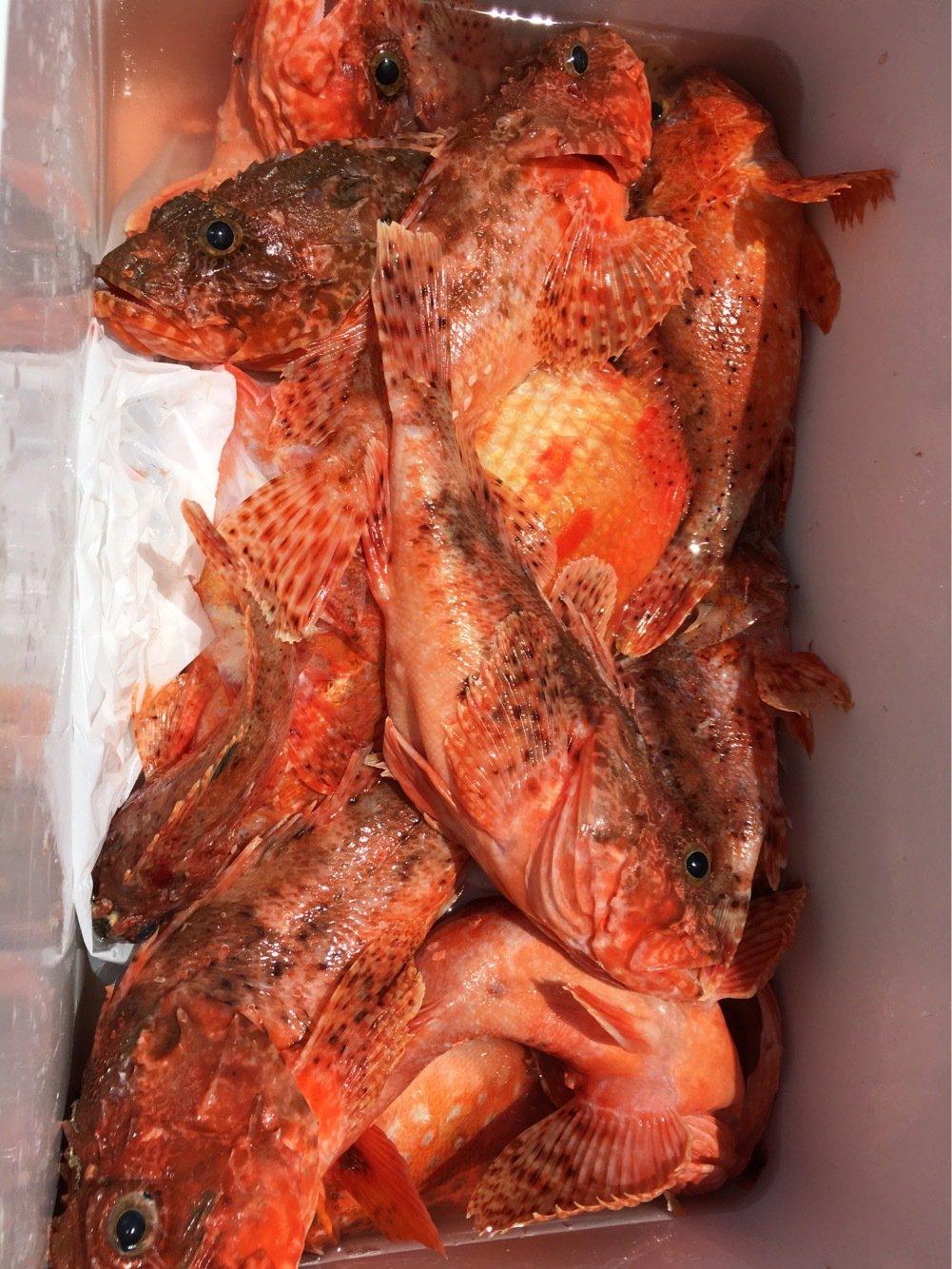 どんすけさんの投稿画像,写っている魚はオニカサゴ