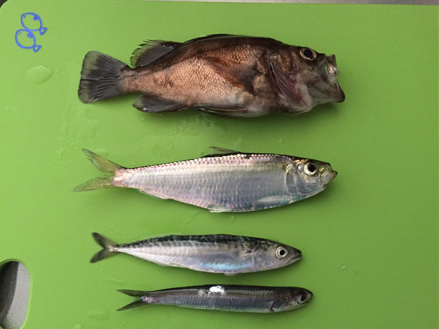 さぼ侍さんの投稿画像,写っている魚はコノシロ