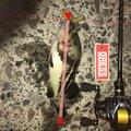 9時ッコさんの北海道古平郡での釣果写真