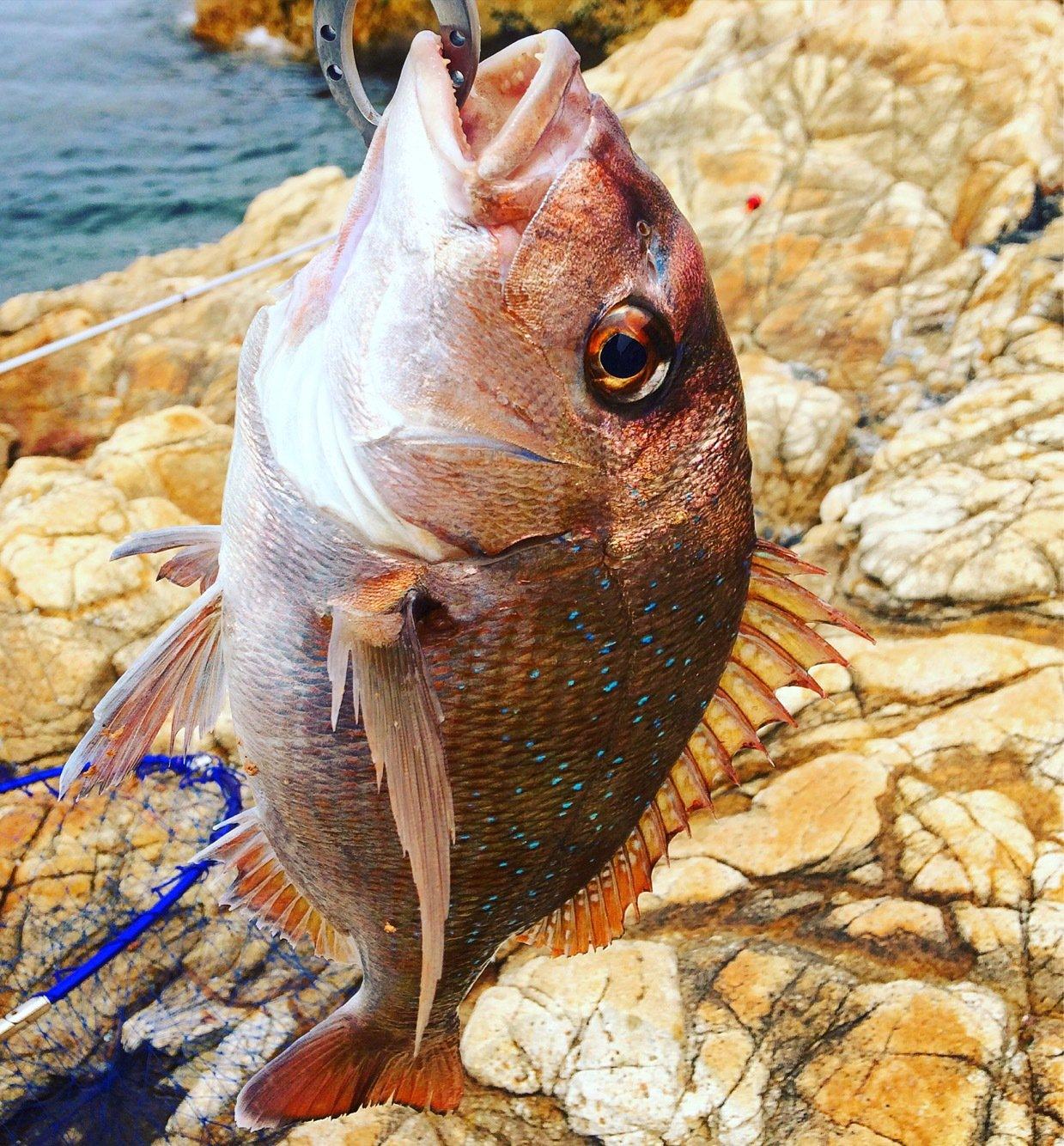 播州じゃがさんの投稿画像,写っている魚はマダイ