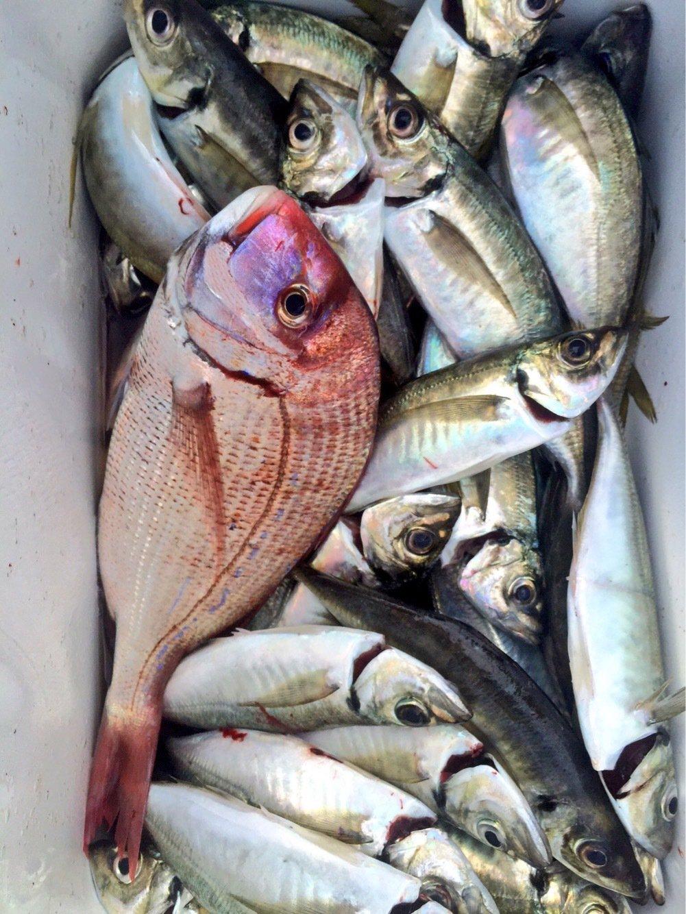 Walterさんの投稿画像,写っている魚はシマアジ