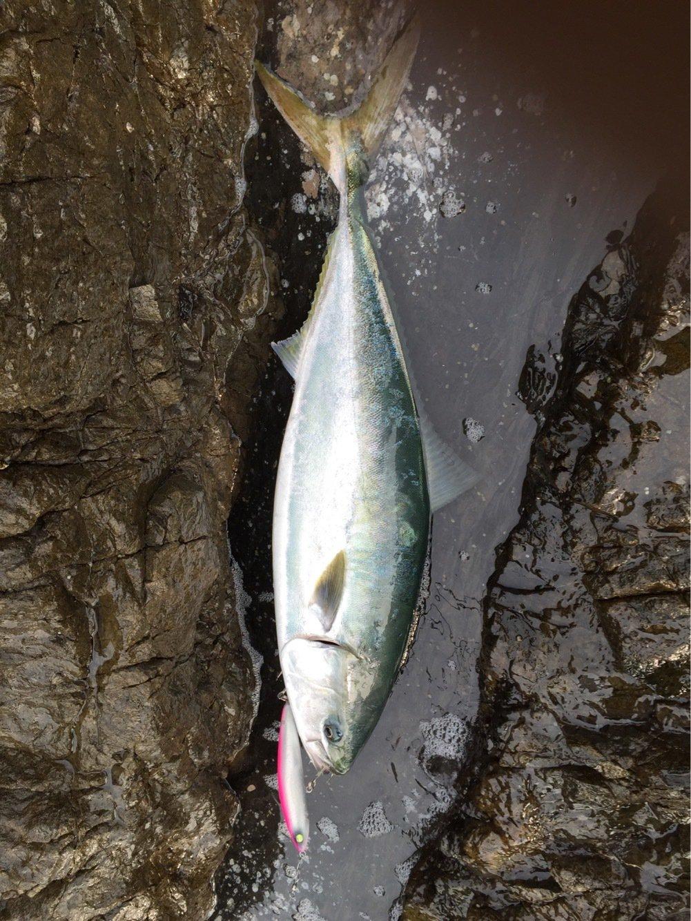 灰山猫さんの投稿画像,写っている魚はブリ