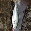 灰山猫さんの高知県高岡郡での釣果写真