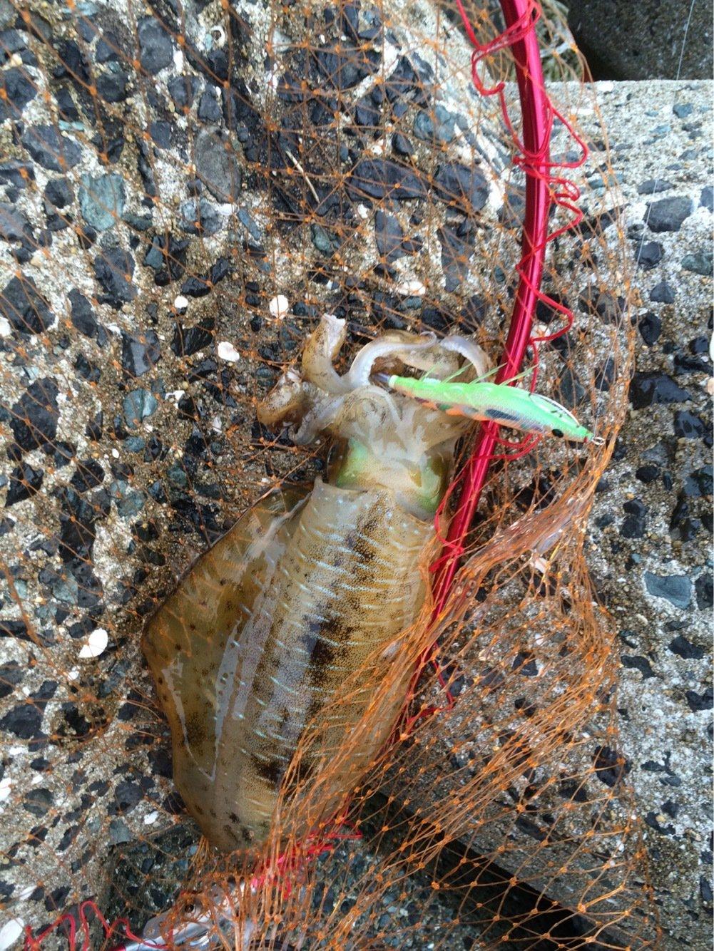 natumizuさんの投稿画像,写っている魚はアオリイカ