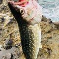 😤アキヒロ😤さんの北海道寿都郡での釣果写真