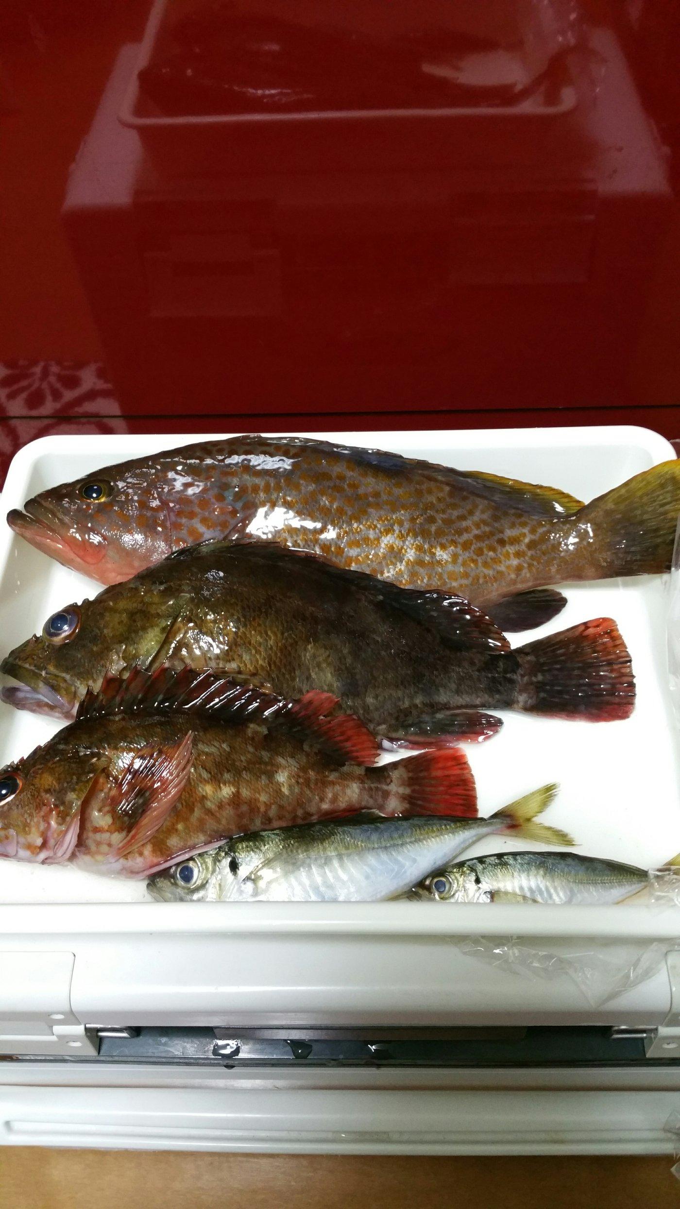 ブイちんさんの投稿画像,写っている魚はキジハタ
