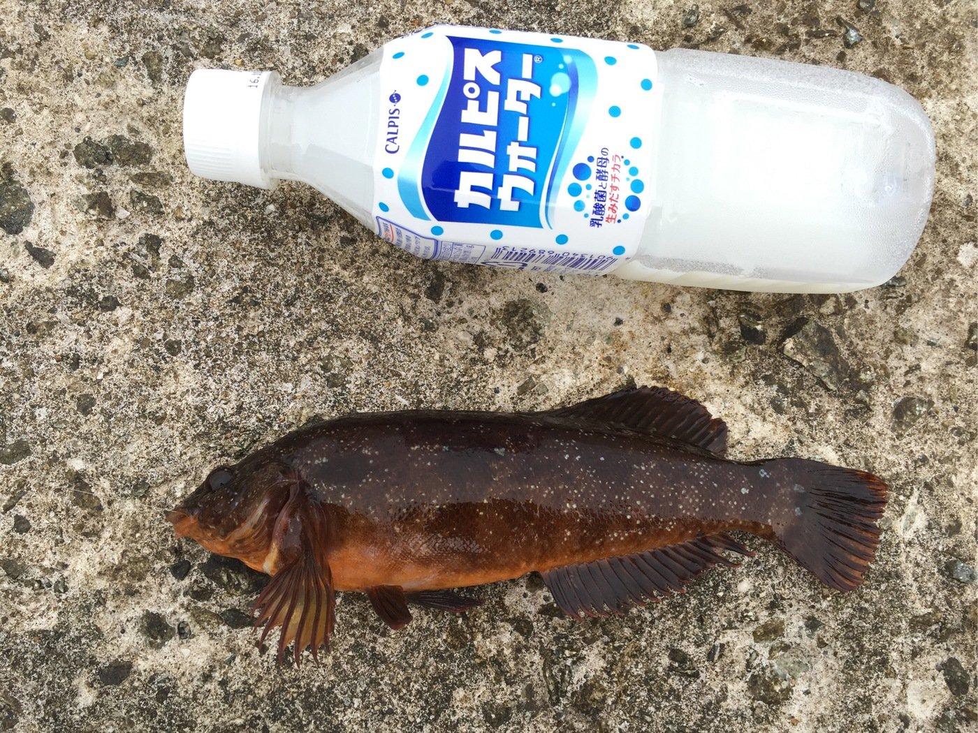 akipapaさんの投稿画像,写っている魚はアイナメ
