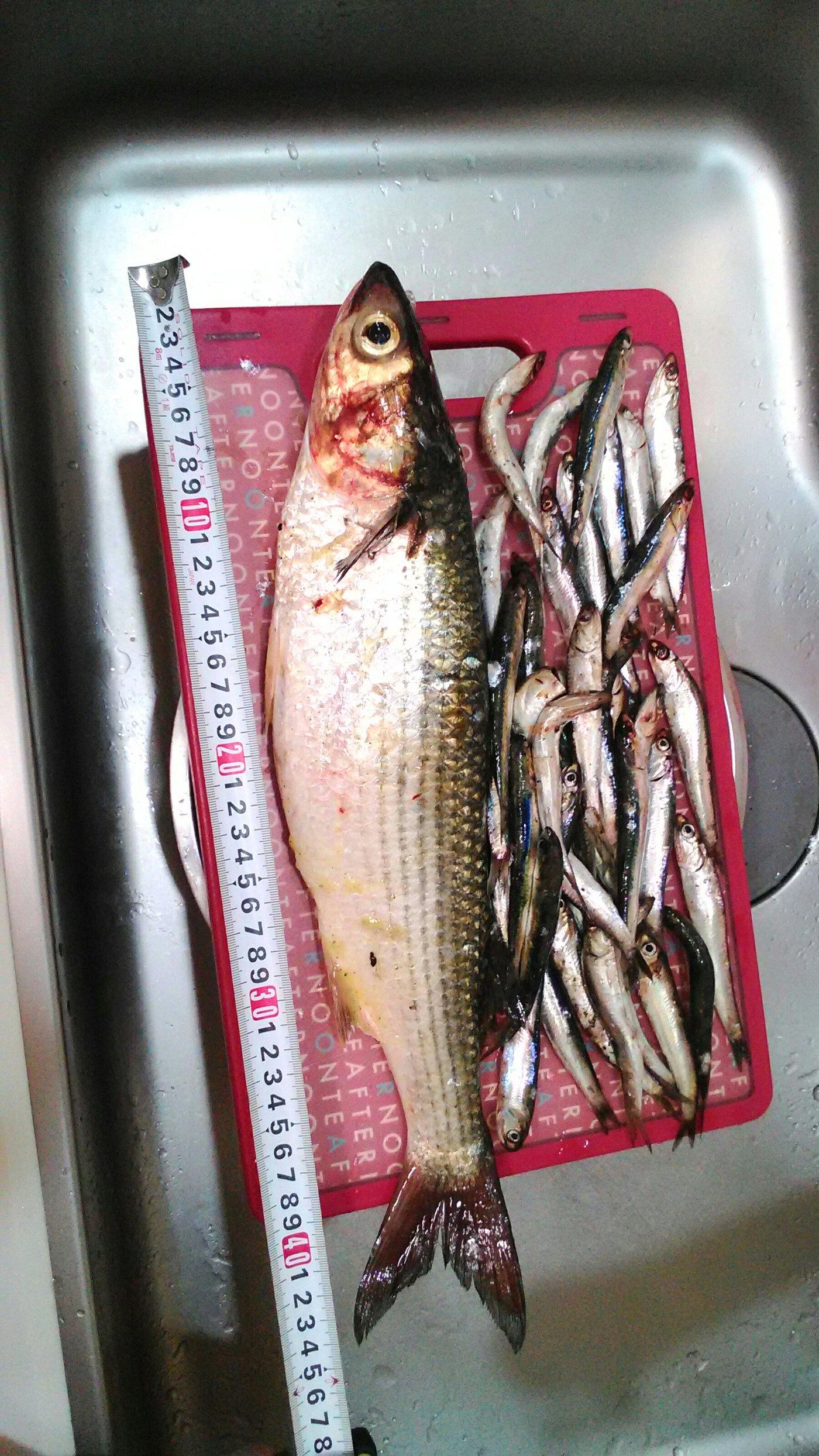 ぺんちゃんさんの投稿画像,写っている魚はボラ
