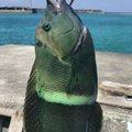 一平さんの沖縄県八重山郡での釣果写真