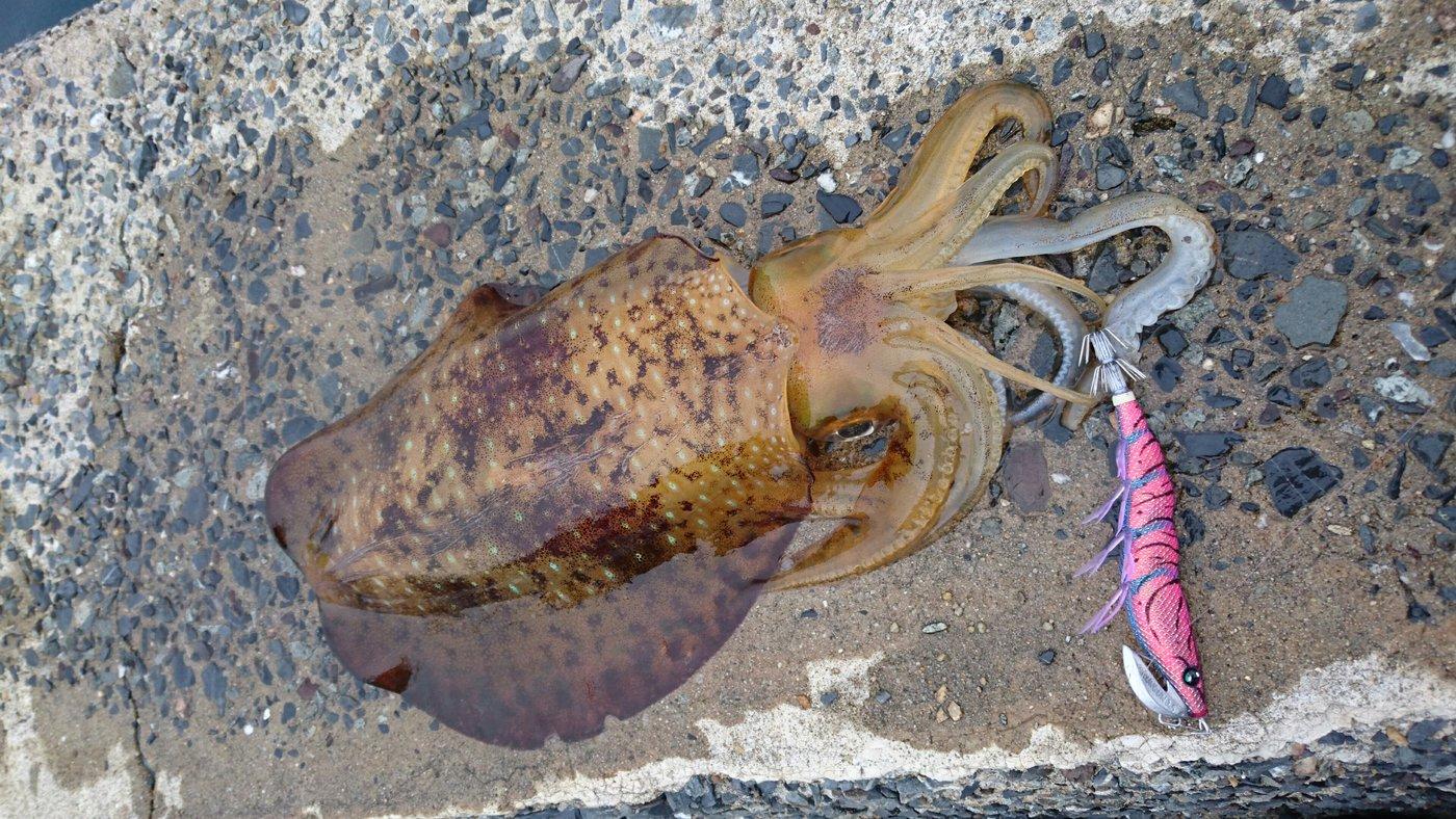 でーじゅさんの投稿画像,写っている魚はアオリイカ