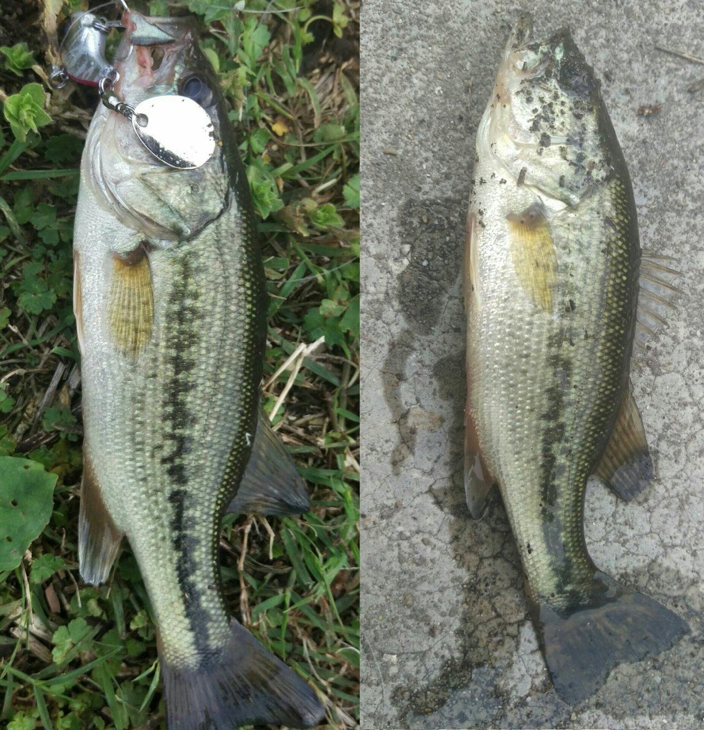 古藤さんの投稿画像,写っている魚はブラックバス