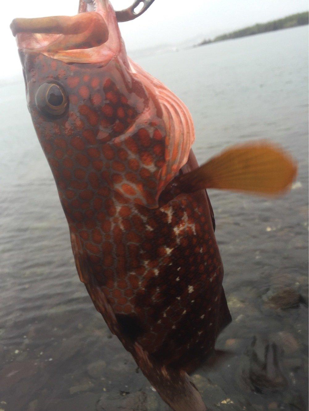せいしょうさんの投稿画像,写っている魚はキジハタ