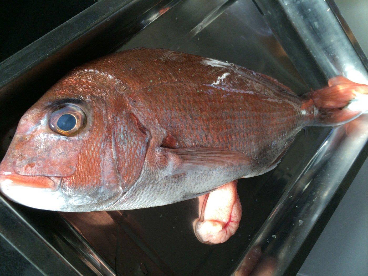 fish hunter 3号さんの投稿画像,写っている魚はマダイ