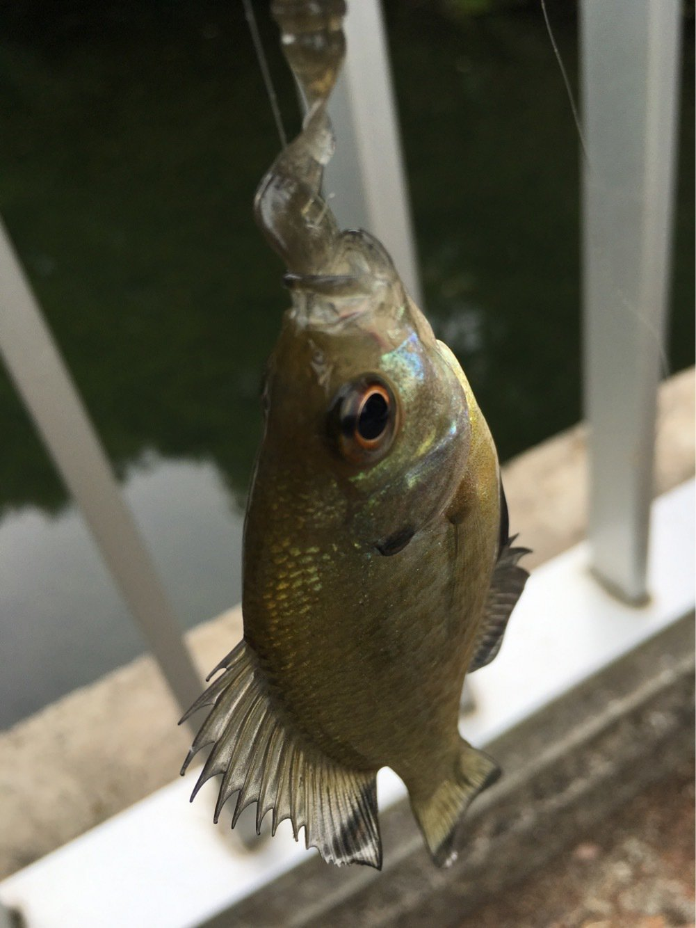NEFさんの投稿画像,写っている魚はブルーギル