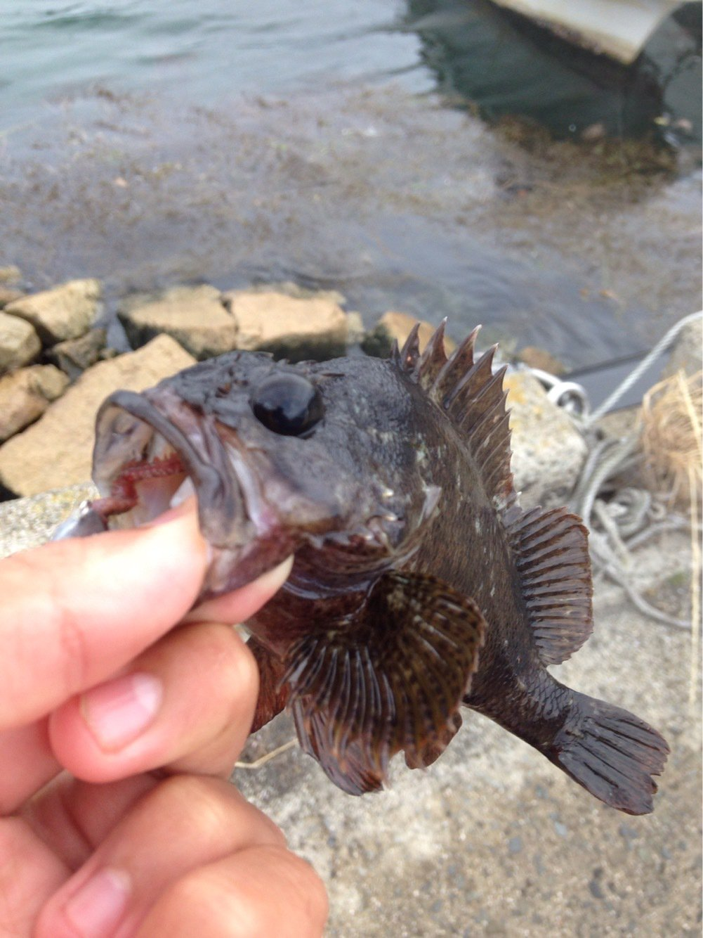 ひかるさんの投稿画像,写っている魚はムラソイ